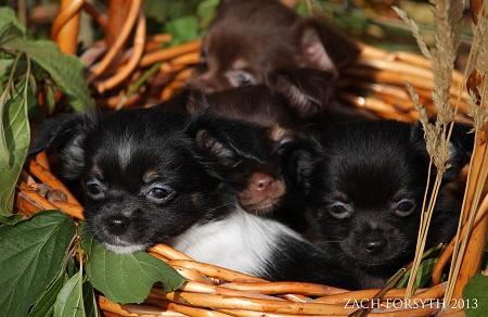 chichi puppies 1