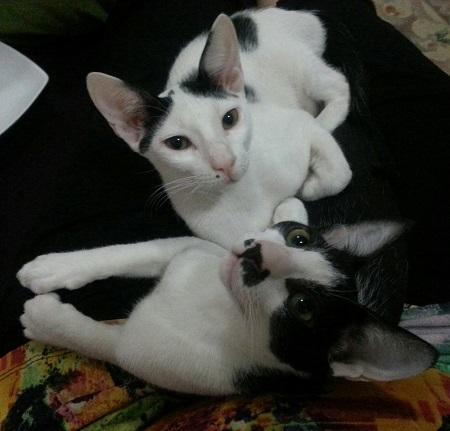 Omani Kittens 1