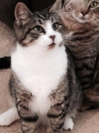 karol cat