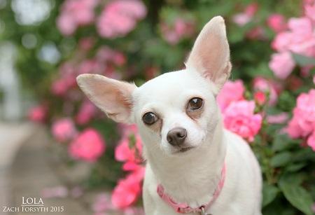 Lola white chihuahua 1