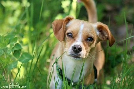 Milo beagle mix 1