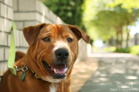 Ginger red sharpei 1