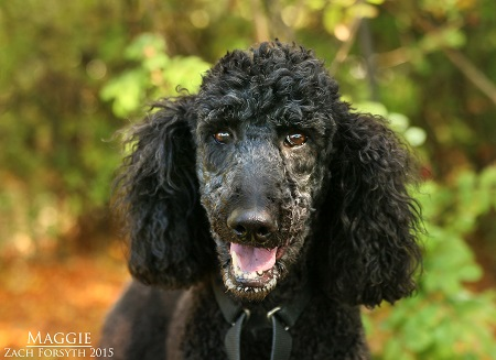 Maggie the poodle 1