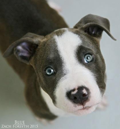 blue pitbull puppy 1