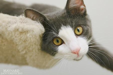 Maynard cat 1