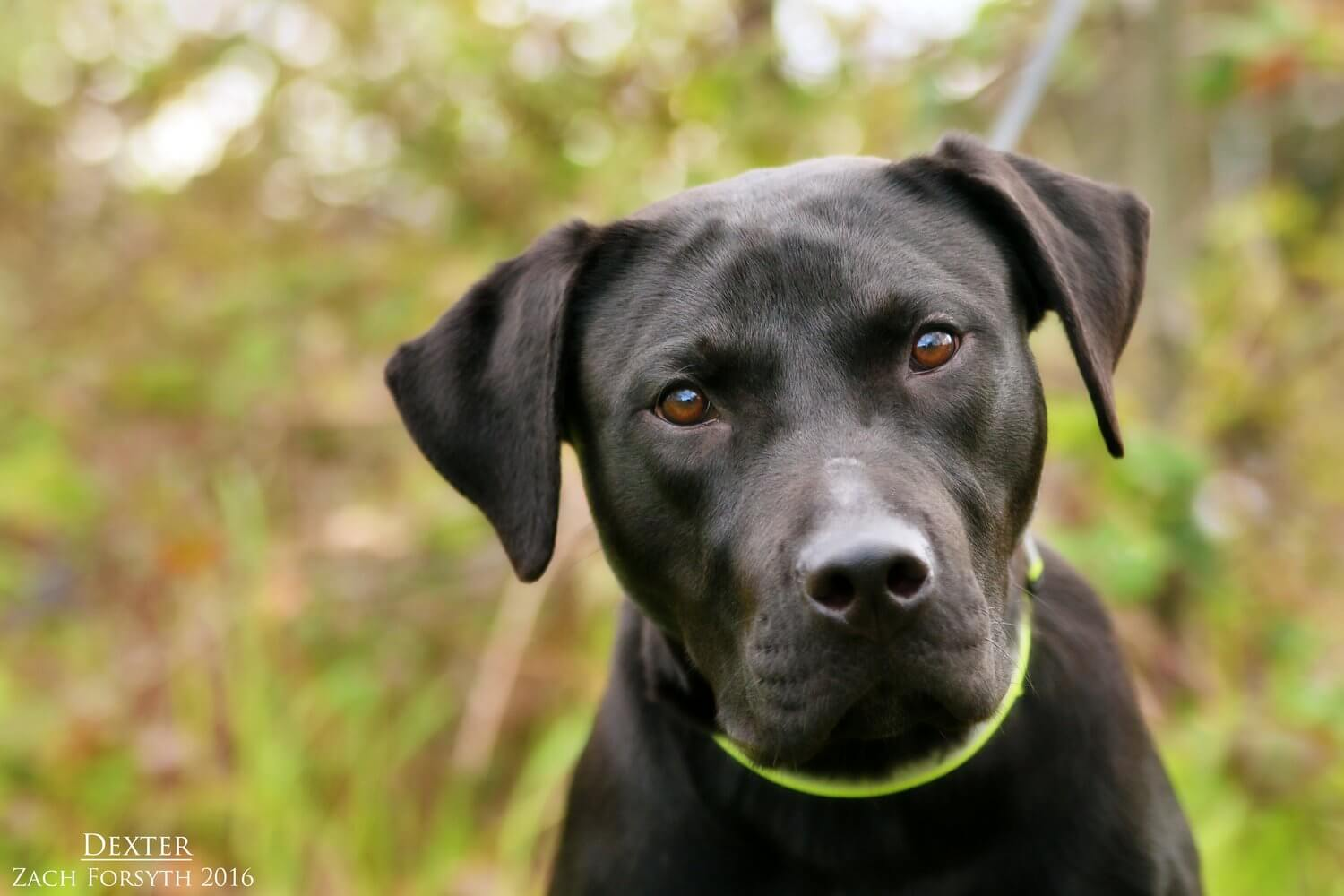 Dexter-black-lab-TX-1