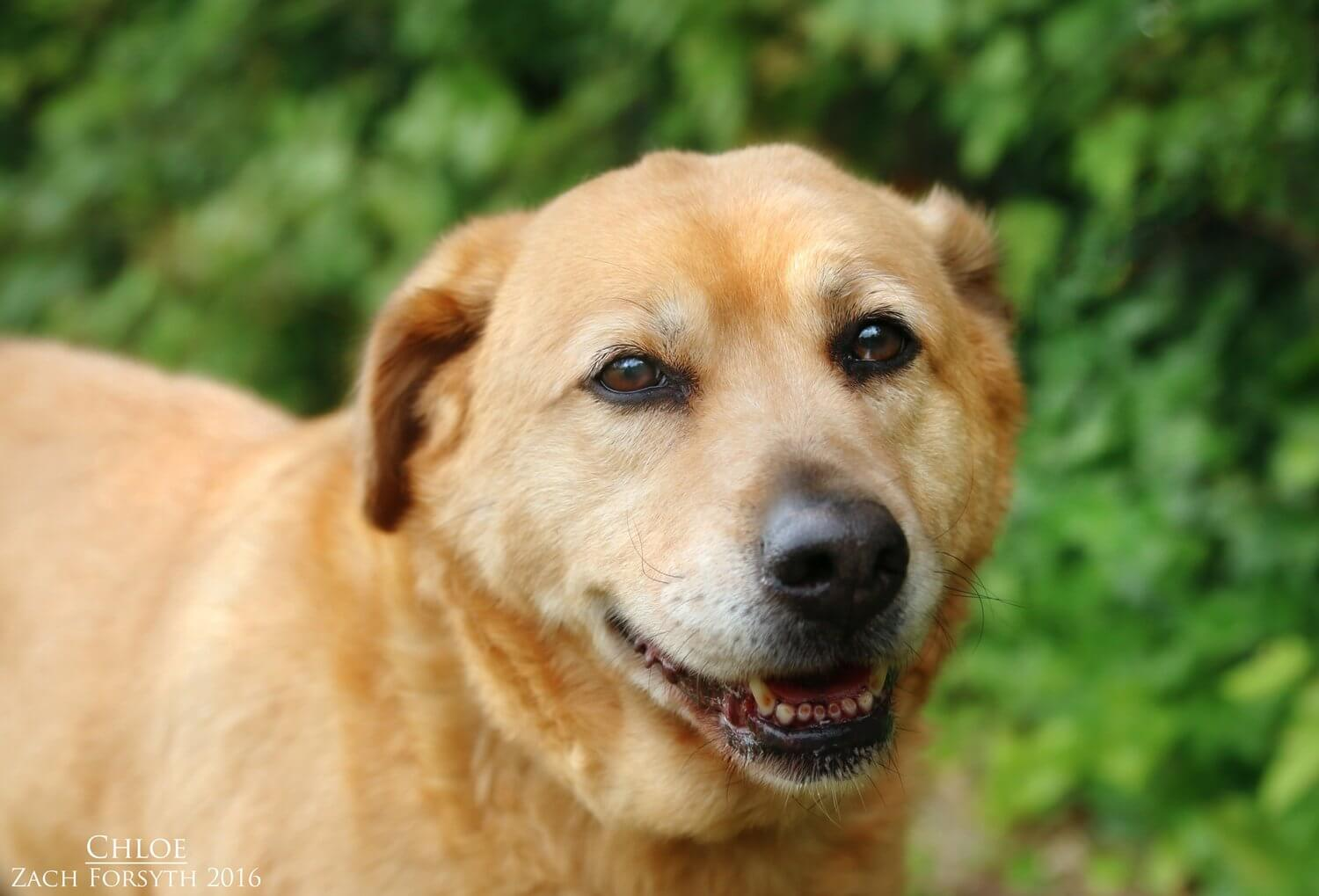 Chloe-old-lab-mix-1