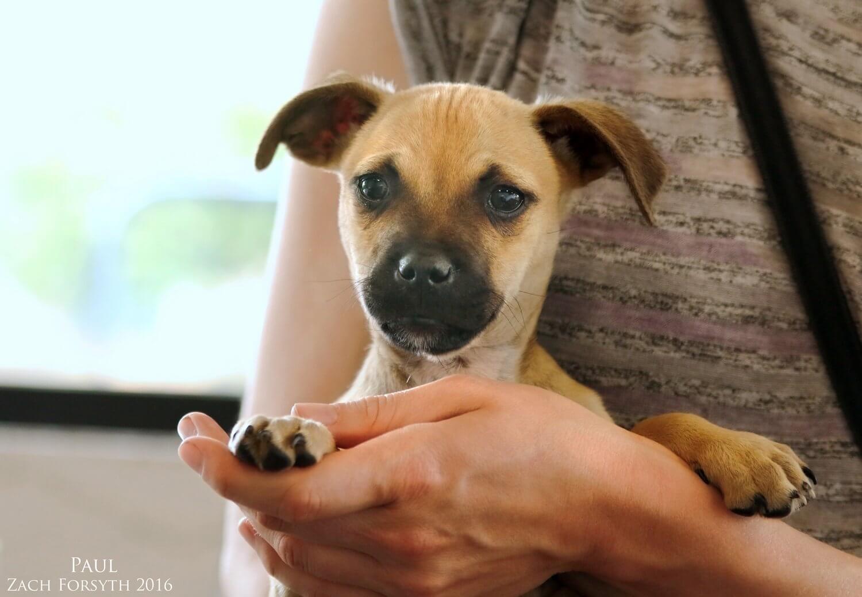 Paul-shepherd-puppy-1