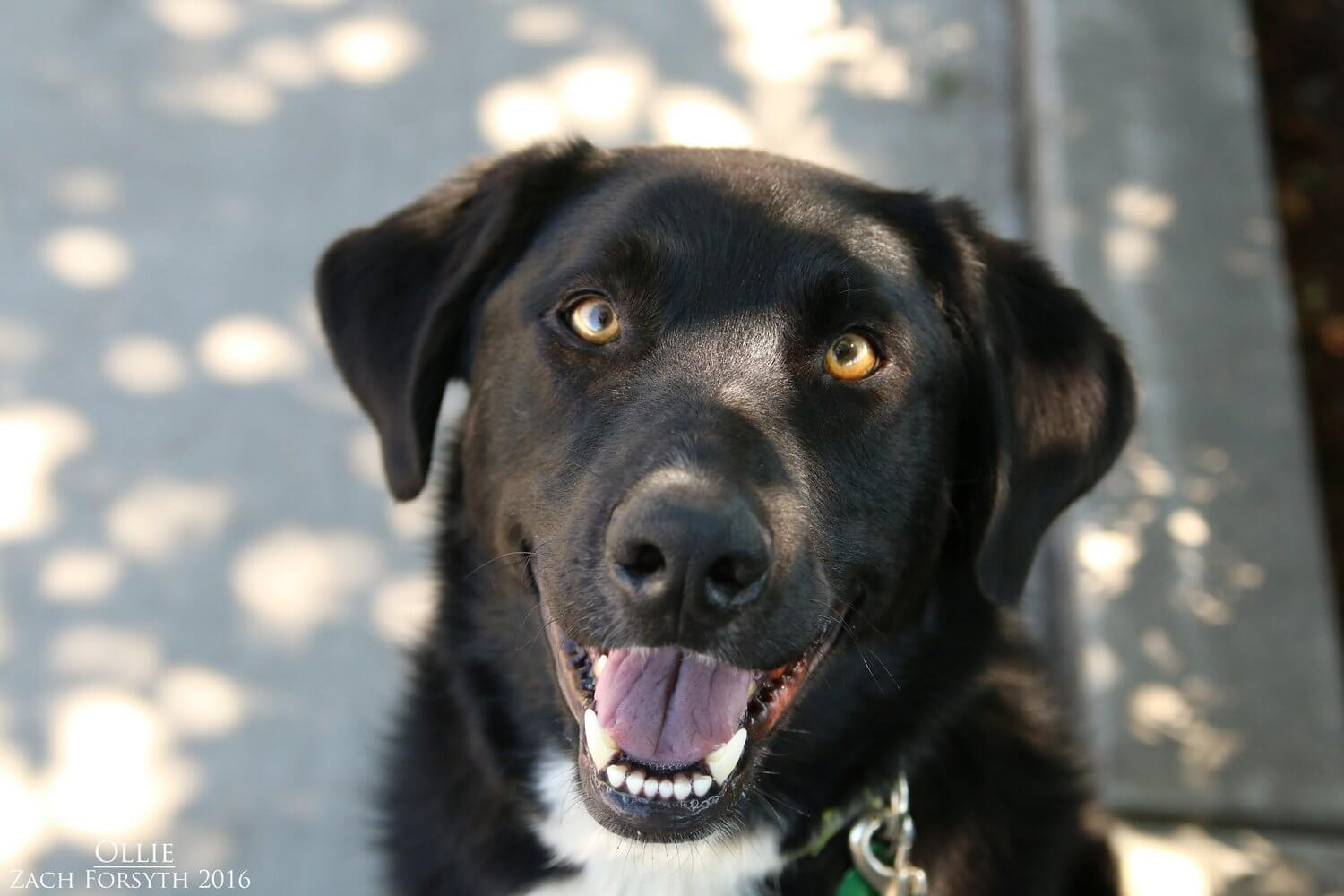 Ollie-aka-Oliver-Border-Collie-Lab