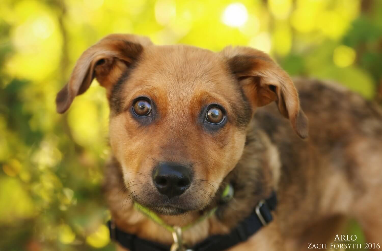 arlo-puppy
