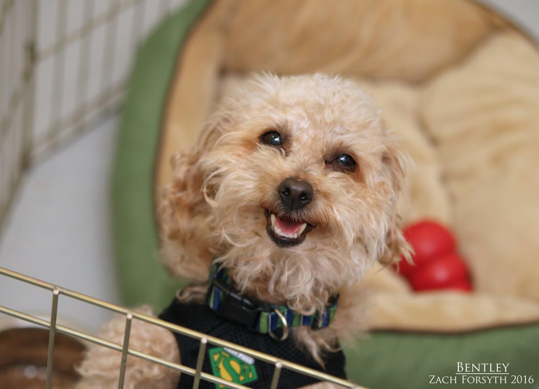 bentley-poodle-pic-1