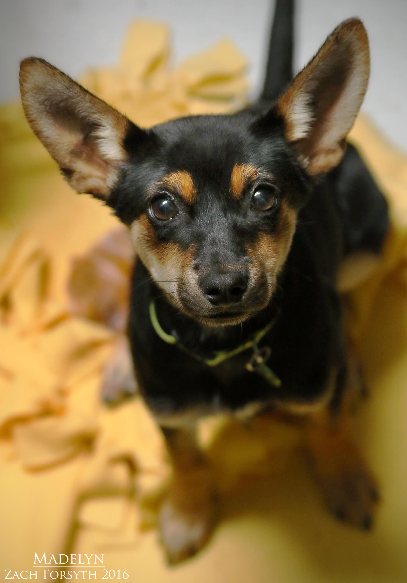 madelyn-minpin-pup