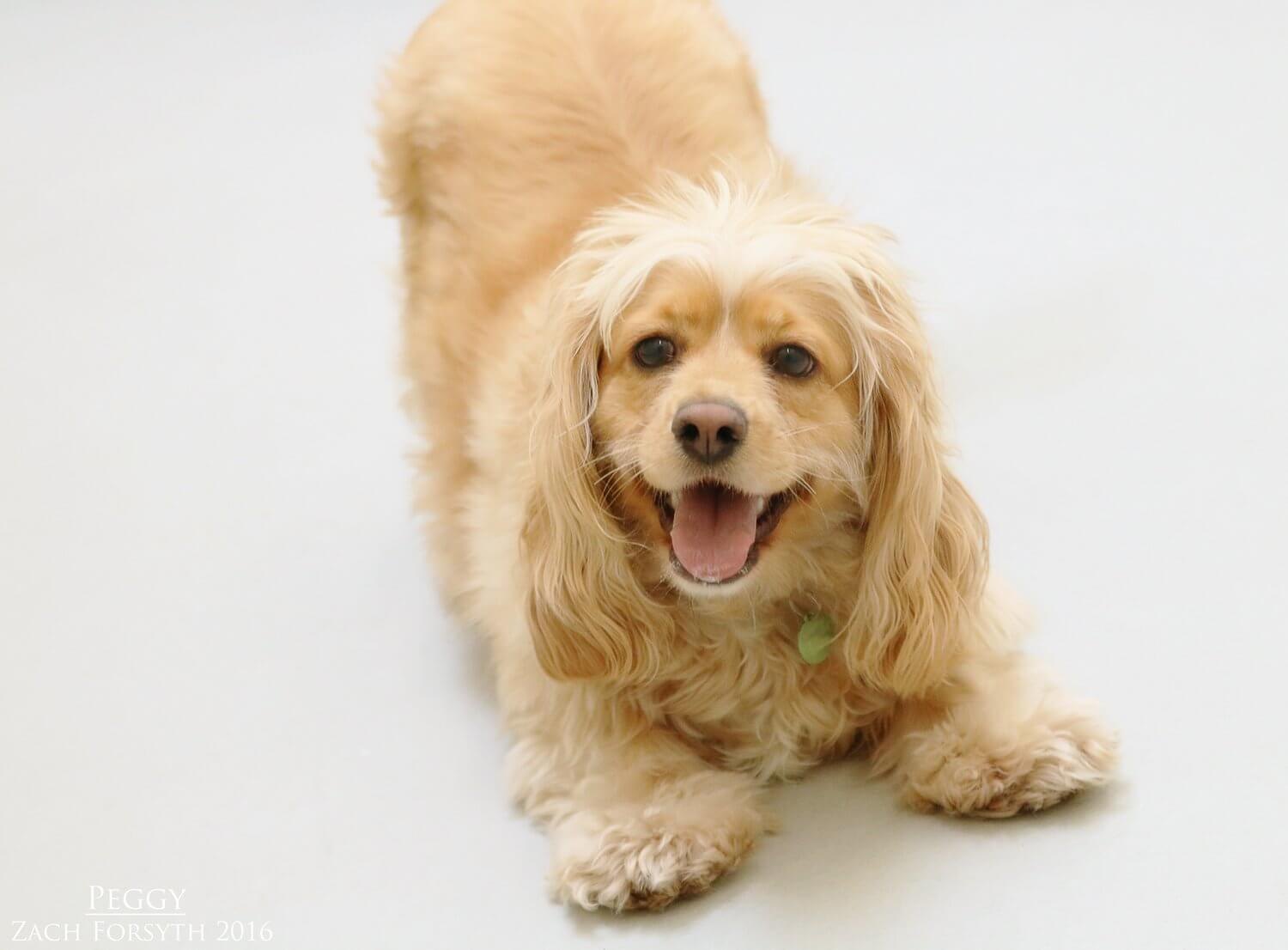 Peggy-cocker-spaniel-1