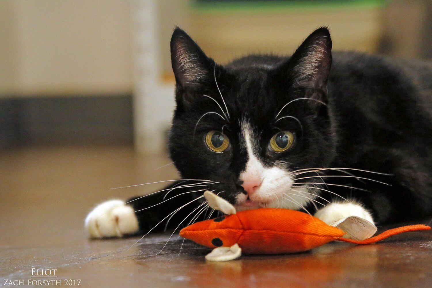 The Pixie Project | Eliot-cat-pic-1 | Non-profit Animal Shelter and ...